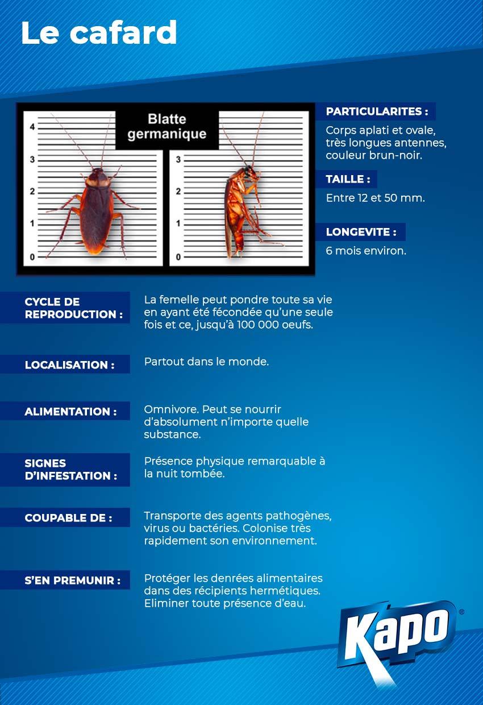 Infographie : la fiche d'identité du cafard
